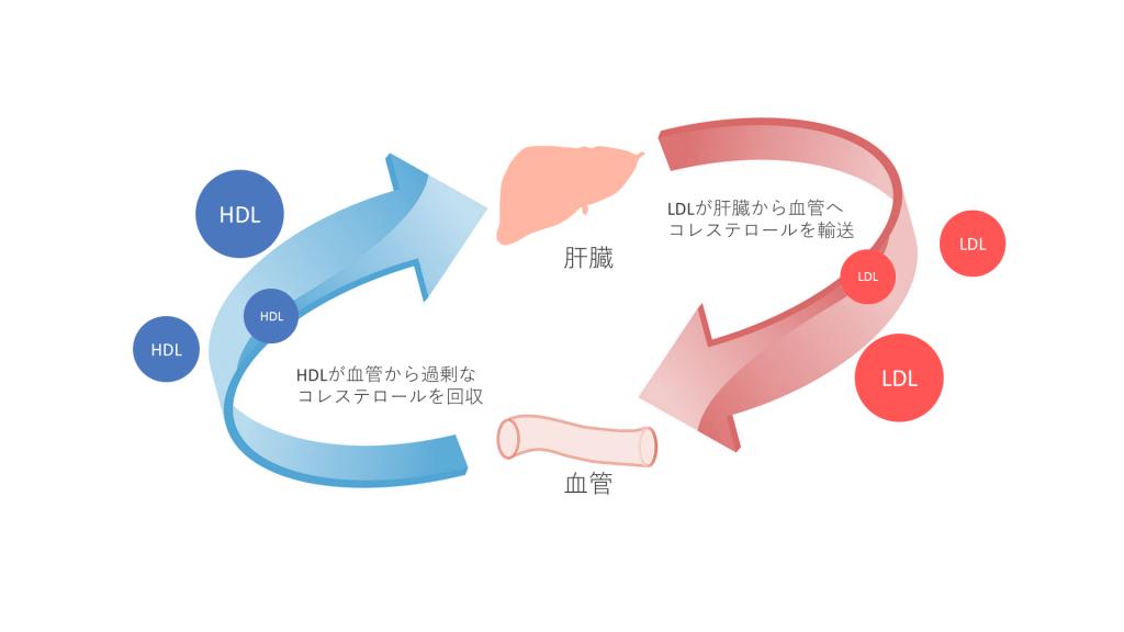 LDLは、肝臓から血管へコレステロールを輸送します。一方で、HDLは、血管から過剰なコレステロールを回収します。